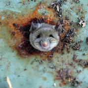 Mal-aimés, les rats savent aussi se rendre utiles