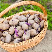 Pourquoi les plants de pomme de terre sont-ils traités ?