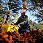 En Tunisie, la palmeraie de Jemna fait sa révolution économique