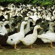 Abattage massif de canards dans le Sud-Ouest pour endiguer la grippe aviaire