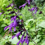 Sauge guarani, une frileuse aux fleurs somptueuses