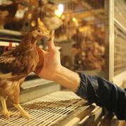 Les éleveurs de poules en cage réclament 100 millions d'euros aux grandes surfaces