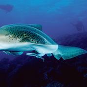 Léonie, la femelle requin qui fait des bébés sans mâle