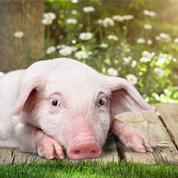 Le retour du rêve des greffes d'organes porcins