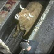 Le procès d'un abattoir relance le débat sur le statut juridique des animaux