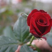 Des pesticides dans les roses de la Saint-Valentin