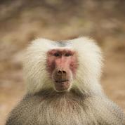 Si les babouins avaient un cerveau développé, ils pourraient parler