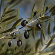 La bactérie tueuse d'oliviers menace l'Espagne