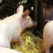 Fleury-Michon veut mettre les porcs au régime bio