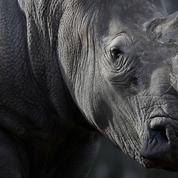 La corne de rhinocéros, un bien plus prisé que l'or ou la cocaïne
