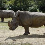 Rhinocéros[ri-no-sé-ros'] n. m. Animal dont la corne rend l'homme bête
