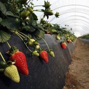 Un producteur de fraises bio picard part en guerre contre l'Espagne