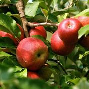 Pommes de reinette et pommes d'api, d'où venez-vous ?