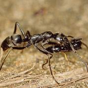 Les fourmis, as de l'évacuation sanitaire