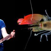 Une nouvelle espèce de crevette nommée... Pink Floyd