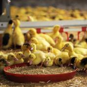 Dans le Sud-Ouest, la pénurie de canetons fragilise la production de foie gras