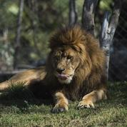 Le cirque Muller menace de lâcher les lions sur la ville du Luc