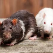Les rats et les punaises de lits créent des emplois