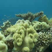 Des coraux résistants pour les mers trop chaudes