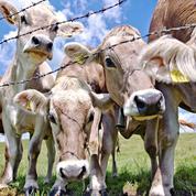 Un homme d'affaires qatari importe 4000 vaches par avion
