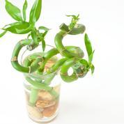 Comment assainir les racines d'une bouture de bambou ?