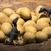 Des dinosaures couvaient leurs œufs