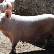 Maltraitance animale: L214 met en cause les pâtés Hénaff