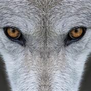 Enquête : faut-il tuer les loups ?