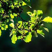 Aulne, l'arbre des zones humides