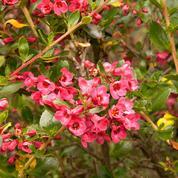 Escallonias, arbustes de la cordillère des Andes