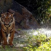Le tigre sauvage, un prédateur en danger