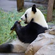 Au zoo de Beauval, on attend la naissance des pandas jumeaux