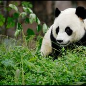 Le panda fait exploser le tourisme zoologique à Beauval