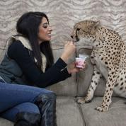 Au Koweït, un important trafic de guépards «de compagnie»