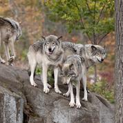 Un séminaire où les managers sont confrontés à des loups