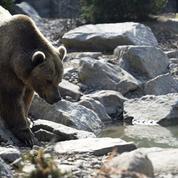 Ours dans les Pyrénées : enquête après l'agression de quatre agents publics