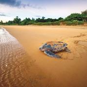 Vent d'espoir pour les tortues marines
