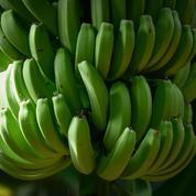 La production mondiale de bananes menacée par un champignon