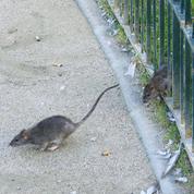 La moitié des rats résiste aux raticides