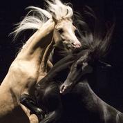 Ex Anima ,de Bartabas: les chevaux, ces acteurs de caractère