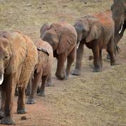 L'administration Trump réautorise l'importation de trophées d'éléphants