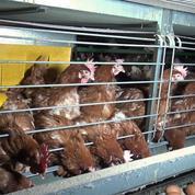 Poules élevées en cage : une nouvelle vidéo accablante dans les Côtes-d'Armor
