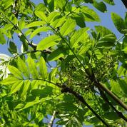 Frêne, arbre de grands espaces