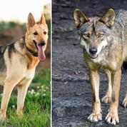 Dans les Alpes, des chiens se reproduisent avec des louves