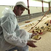 La grippe aviaire, une épée de Damoclès sur la filière du foie gras