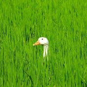 En Camargue, des canards remplacent les pesticides dans les rizières