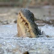 La stratégie originale des alligators pour respirer dans un marécage gelé