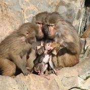 Le zoo de Vincennes a récupéré ses babouins et rouvre