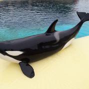 Wikie, l'orque d'Antibes qui essaie de parler comme les humains
