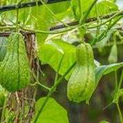 Chayote, liane vivace et comestible